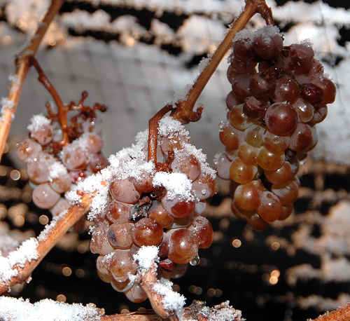 Struguri pentru producerea vinului Iceberg Tatius - Sunt inghetati inca de pe vita-de-vie